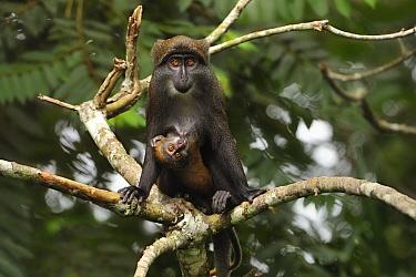 Sun-tailed Guenon (Cercopithecus solatus) mother nursing young, Franceville, Gabon
