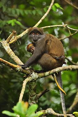 Sun-tailed Guenon (Cercopithecus solatus) mother with baby, Franceville, Gabon