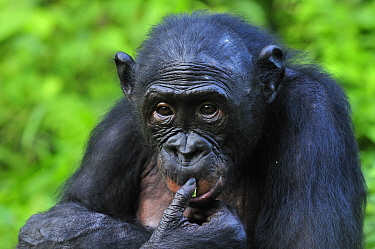 Bonobo (Pan paniscus), Lola Ya Bonobo Sanctuary, Democratic Republic of the Congo