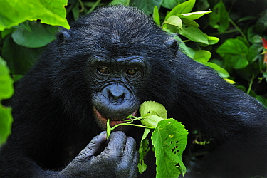 Bonobo (Pan paniscus) feeding on leaves, Lola Ya Bonobo Sanctuary, Democratic Republic of the Congo