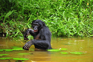 Bonobo (Pan paniscus) walking through water, Lola Ya Bonobo Sanctuary, Democratic Republic of the Congo