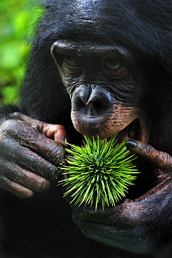Bonobo (Pan paniscus) trying to eat spiny Caloncoba (Caloncoba welwitschii) fruit, Lola Ya Bonobo Sanctuary, Democratic Republic of the Congo