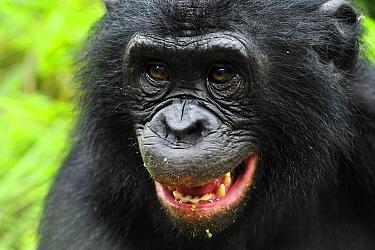 Bonobo (Pan paniscus) in defensive posture, Lola Ya Bonobo Sanctuary, Democratic Republic of the Congo