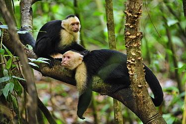White-faced Capuchin (Cebus capucinus) pair grooming, Manuel Antonio National Park, Costa Rica