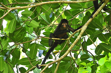 Black-handed Spider Monkey (Ateles geoffroyi), Corcovado National Park, Osa Peninsula, Costa Rica