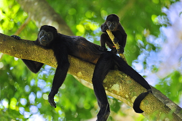 Mantled Howler Monkey (Alouatta palliata) mother with young, Cahuita National Park, Costa Rica