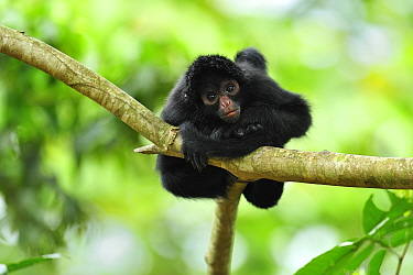 Black-faced Spider Monkey (Ateles chamek) juvenile, Tambopata-Candamo Nature Reserve, Peru