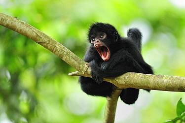 Black-faced Spider Monkey (Ateles chamek) juvenile calling, Tambopata-Candamo Nature Reserve, Peru
