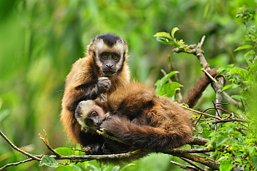 Brown Capuchin (Cebus apella) pair grooming, Manu National Park, Peru