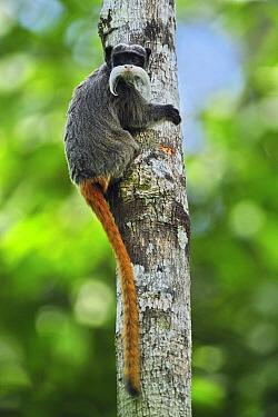 Emperor Tamarin (Saguinus imperator), Manu National Park, Peru