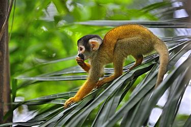 Bolivian Squirrel Monkey (Saimiri boliviensis) female feeding, Tambopata-Candamo Nature Reserve, Peru