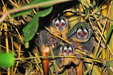 Black-headed Night Monkey (Aotus nigriceps) group at night, Tambopata-Candamo Nature Reserve, Peru