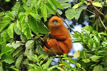 Red Leaf Monkey (Presbytis rubicunda) feeding on leaves, Tawau Hills Park, Sabah, Borneo, Malaysia