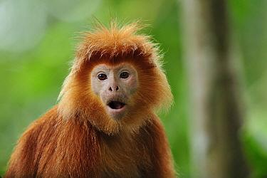Ebony Leaf Monkey (Trachypithecus auratus), native to Java