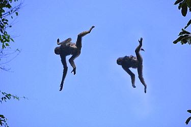 Muller's Bornean Gibbon (Hylobates muelleri) pair jumping, Tabin Wildlife Reserve, Sabah, Borneo, Malaysia