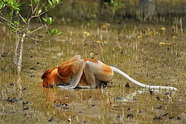 Proboscis Monkey (Nasalis larvatus) male drinking in mangrove swamp at low tide, Bako National Park, Sarawak, Borneo, Malaysia