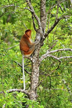 Proboscis Monkey (Nasalis larvatus) female, Bako National Park, Sarawak, Borneo, Malaysia