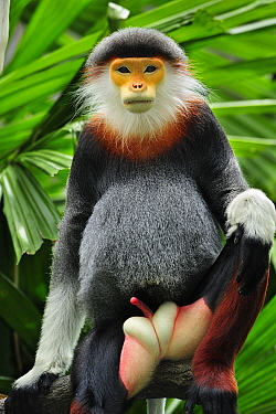 Douc Langur (Pygathrix nemaeus) male, native to southeast Asia