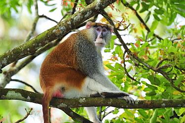 Patas Monkey (Erythrocebus patas) male, native to Africa