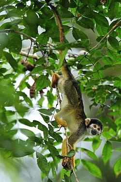 Black-headed Squirrel Monkey (Saimiri vanzolinii), Mamiraua Reserve, Amazon, Brazil