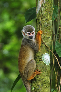 South American Squirrel Monkey (Saimiri sciureus), Amacayacu National Park, Colombia