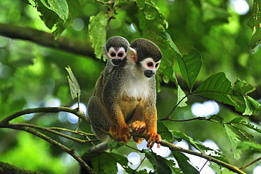 South American Squirrel Monkey (Saimiri sciureus) mother with baby, Amacayacu National Park, Colombia