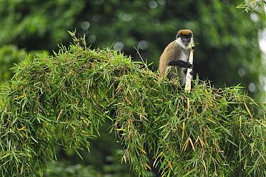 Bale Mountains Vervet (Chlorocebus djamdjamensis) feeding on bamboo, Bale Mountains National Park, Ethiopia