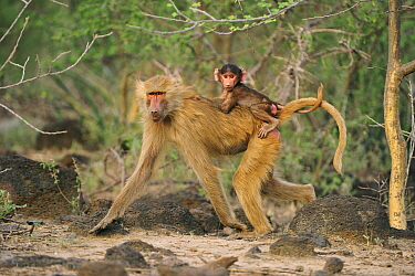Hamadryas Baboon (Papio hamadryas) mother with young, Awash National Park, Ethiopia