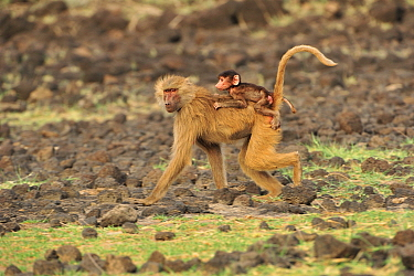 Hamadryas Baboon (Papio hamadryas) mother running with young, Awash National Park, Ethiopia