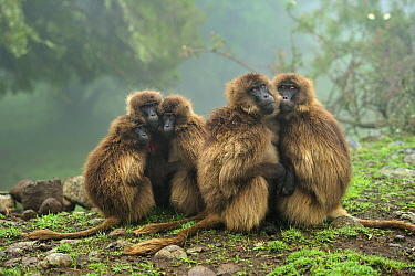 Gelada Baboon (Theropithecus gelada) group huddling for warmth, Simien Mountains National Park, Ethiopia