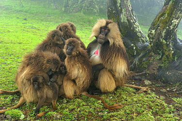 Gelada Baboon (Theropithecus gelada) male with females and young, Simien Mountains National Park, Ethiopia