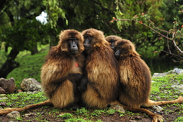 Gelada Baboon (Theropithecus gelada) group huddling for warmth, Simien Mountains National Park, Ethiopia