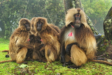 Gelada Baboon (Theropithecus gelada) male and females huddling for warmth with young nursing, Simien Mountains National Park, Ethiopia