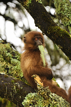 Gelada Baboon (Theropithecus gelada) young feeding on lichen, Simien Mountains National Park, Ethiopia