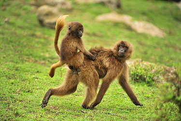 Gelada Baboon (Theropithecus gelada) mother carrying young, Simien Mountains National Park, Ethiopia