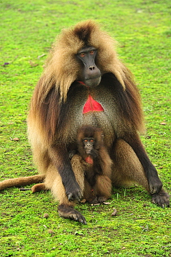 Gelada Baboon (Theropithecus gelada) male and young, Simien Mountains National Park, Ethiopia