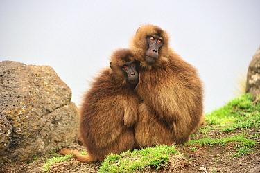 Gelada Baboon (Theropithecus gelada) pair huddling for warmth, Simien Mountains National Park, Ethiopia