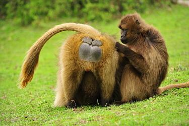 Gelada Baboon (Theropithecus gelada) pair grooming, Simien Mountains National Park, Ethiopia