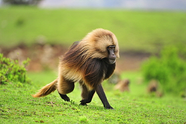 Gelada Baboon (Theropithecus gelada) male running, Simien Mountains National Park, Ethiopia