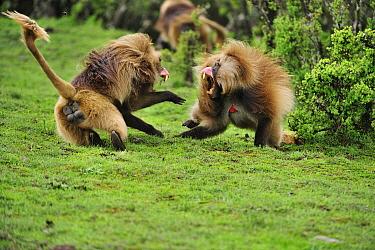 Gelada Baboon (Theropithecus gelada) males fighting, Simien Mountains National Park, Ethiopia