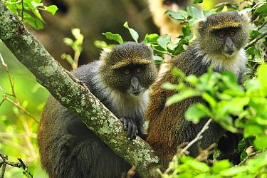 Sykes Monkey (Cercopithecus albogularis) pair, Mount Kenya National Park, Kenya