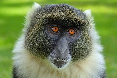 Sykes Monkey (Cercopithecus albogularis), Mount Kenya National Park, Kenya