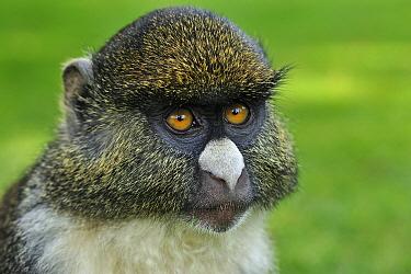 Sykes Monkey (Cercopithecus albogularis) and Red-tail Monkey (Cercopithecus ascanius) hybrid, Mount Kenya Wildlife Conservancy, Kenya