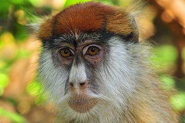 Patas Monkey (Erythrocebus patas), Sweetwaters Game Reserve, Kenya