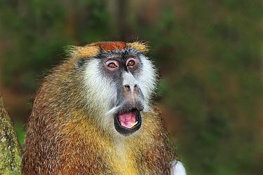 Patas Monkey (Erythrocebus patas) in defensive posture, Sweetwaters Game Reserve, Kenya