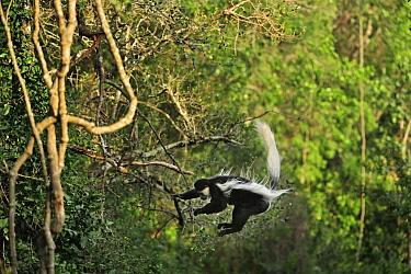 Mantled Colobus (Colobus guereza) jumping, Mount Kenya National Park, Kenya