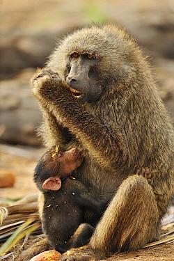 Olive Baboon (Papio anubis) mother feeding on fruit with nursing young, Samburu National Park, Kenya