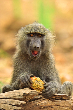 Olive Baboon (Papio anubis) feeding on fruit, Sweetwaters Game Reserve, Kenya