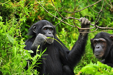 Eastern Chimpanzee (Pan troglodytes schweinfurthii) feeding on leaves, Sweetwaters Game Reserve, Kenya