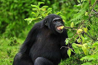 Eastern Chimpanzee (Pan troglodytes schweinfurthii) feeding on fruit, Sweetwaters Game Reserve, Kenya